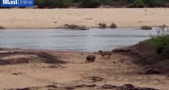 Δεν θα αφήσω να πειράξεις τη μαμά μου! Γενναίο ιπποποταμάκι τα βάζει με λιοντάρι (ΒΙΝΤΕΟ)