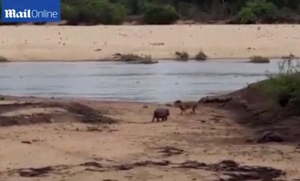 λιοντάρι ιποππόταμος