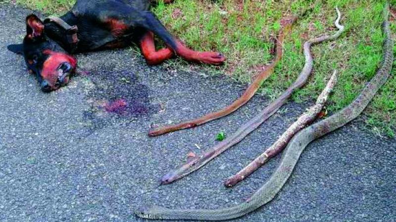 Σκύλος δηλητηριώδεις κόμπρες