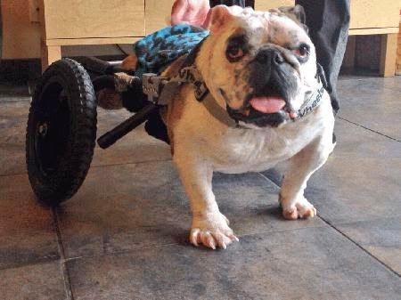 dog-on-wheels_21713
