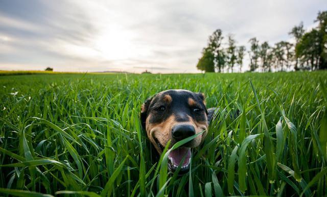 Σκύλος Άγανα