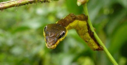 Μια κάμπια μιμείται ένα φίδι για να τρομάξει τους εχθρούς της