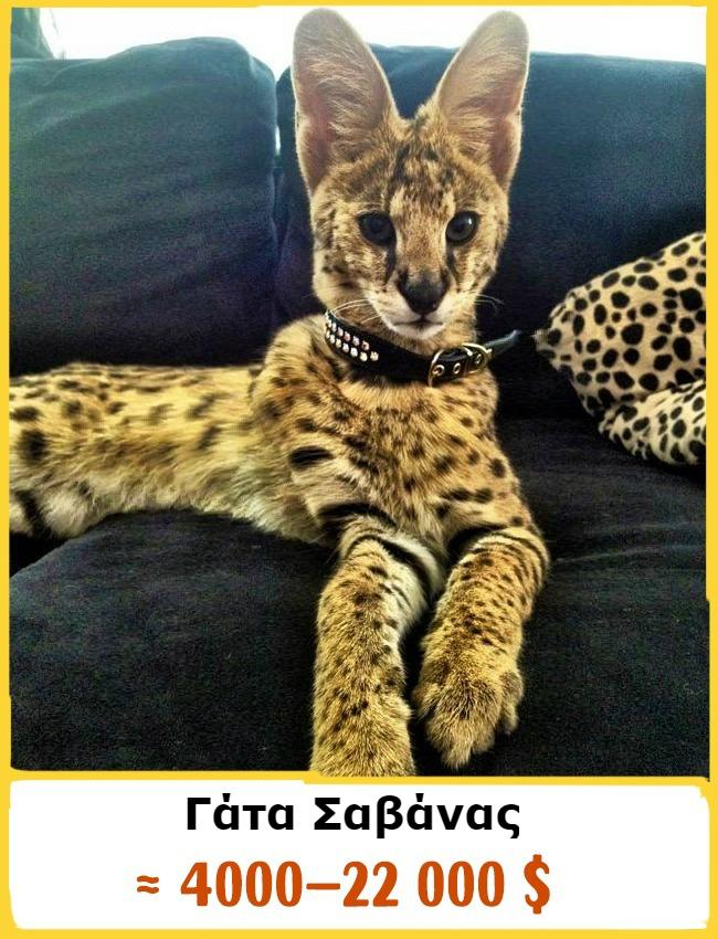 Γάτα ακριβές ράτσες γάτας