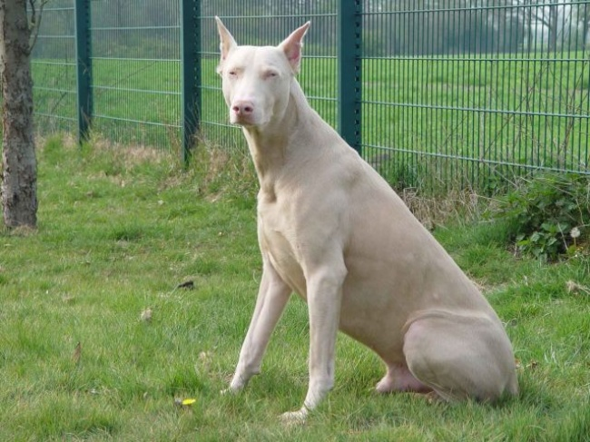 τρίχωμα σκυλιά