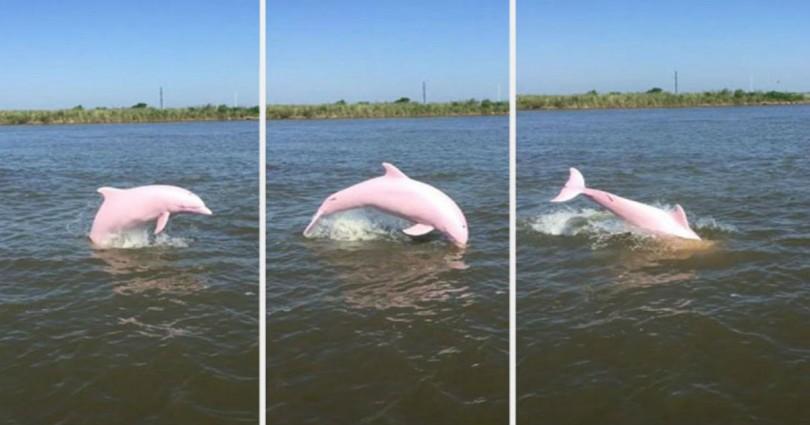 ροζ δελφίνι δελφίνι