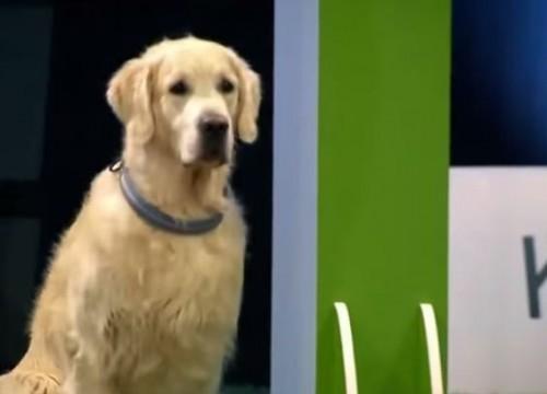 Σκύλος παιχνίδι Golden Retriever