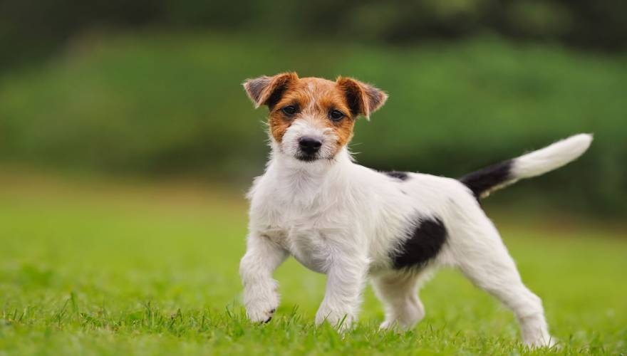 jack-russell_56833036
