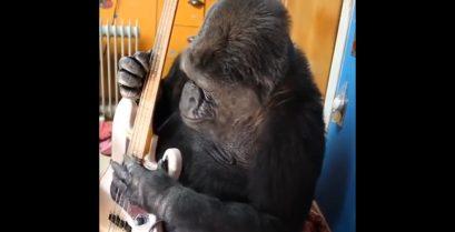 Η Koko ο γορίλας παίζει μπάσο παρέα με τον Flea