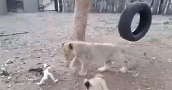 Ο νέος βασιλιάς της ζούγκλας είναι… σκύλος