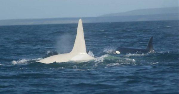Εντόπισαν μετά από 4 χρόνια το σπάνιο είδος της λευκής φάλαινας «αλμπίνο» (φωτό, video)