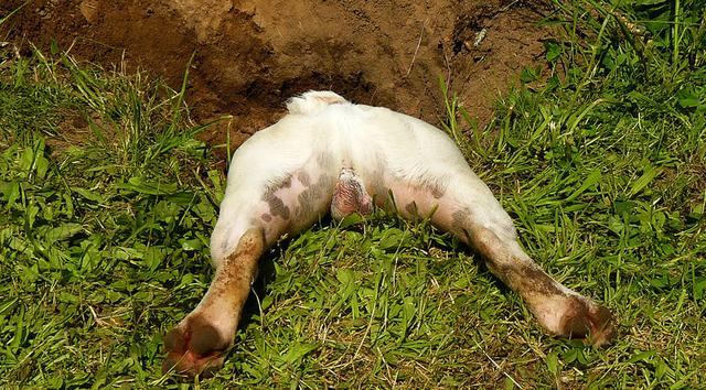 σκύλοι σκάψιμο