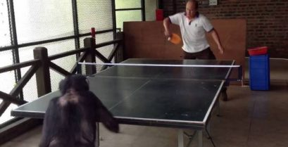 Ο χιμπατζής που παίζει πινγκ-πονγκ