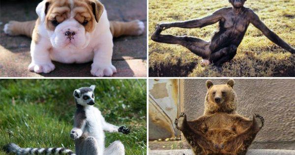 Απολαυστικές φωτογραφίες ζώων να κάνουν γιόγκα