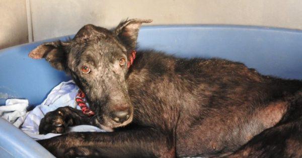 Ο Μόντυ που βρέθηκε εξαθλιωμένος σε υπόνομο στον Κάλαμο Αττικής μεταμορφώνεται σ' έναν πανέμορφο μαύρο σκυλάκο