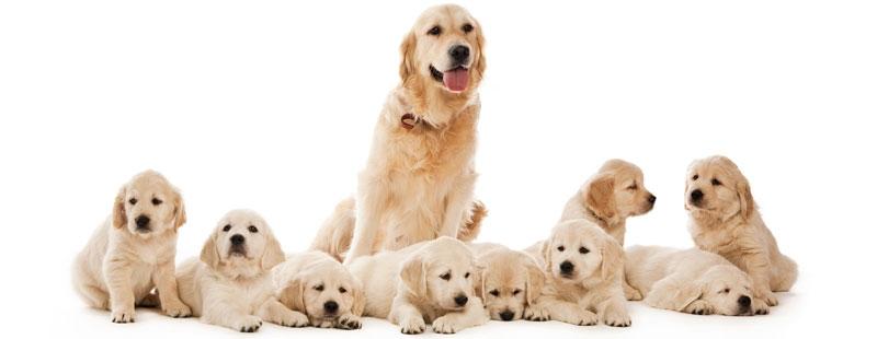 Σκύλος κύηση