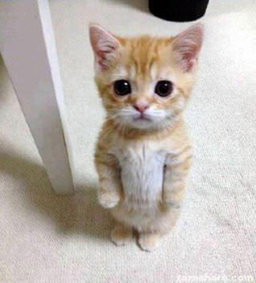 γάτες Munchkin