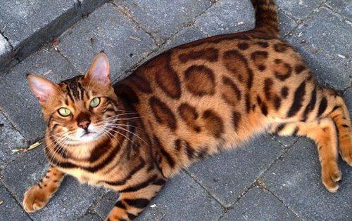 Αυτή είναι η Thor, η γάτα Βεγγάλης με την ωραιότερη γούνα του είδους