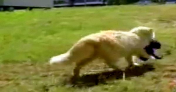 Αυτή η γάτα έκλεβε κάθε μέρα και από ένα κουτάβι. Μόλις ο ιδιοκτήτης της κατάλαβε τι τα έκανε, έμεινε άφωνος!