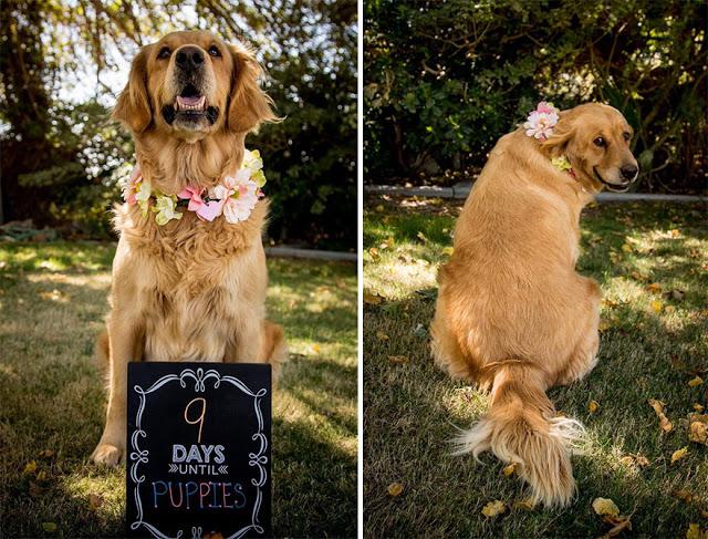 dog-maternity-photo-shoot-chanel-kennedy-sorensen-6