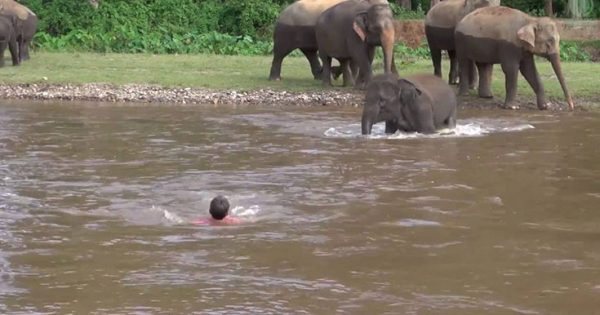 Ελέφαντας τρέχει να σώσει άνθρωπο που παρασύρεται από το ποτάμι (Video)