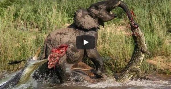 Αληθινές μάχες άγριων ζώων της Αφρικής που κόβουν την ανάσα (βίντεο)