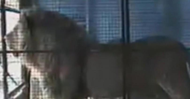 λιοντάρι απελευθρέρωση