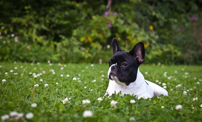 φυλές σκύλων Shih Tzu French Bulldog Chow Chow Chinese Shar Pei Cavalier King Charles Spaniel bulldog Bichon Frise