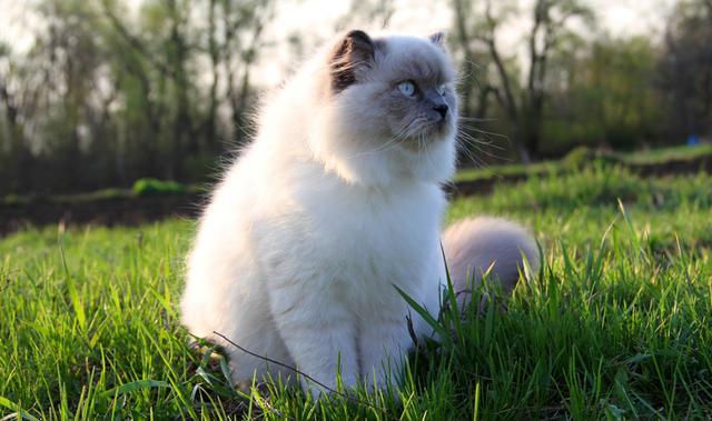 μασάζ Γάτα