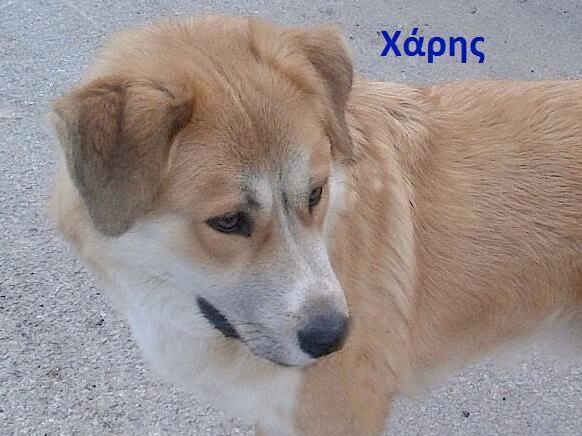 Χαρίζονται ελληνικός ποιμενικός αγγελίες σκύλων
