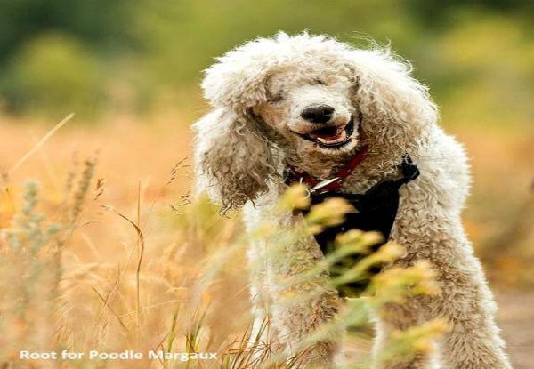 τυφλός σκύλος Σκύλος