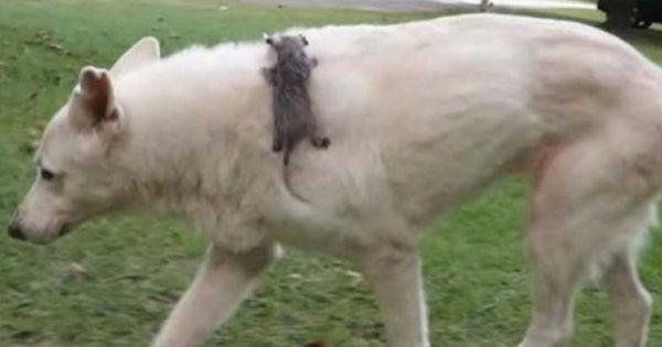 Οι διασώστες βρήκαν ένα μωρό οπόσουμ εγκαταλειμμένο και μόνο. Μια Σκυλίτσα όμως το «υιοθέτησε» ως Δικό της!..