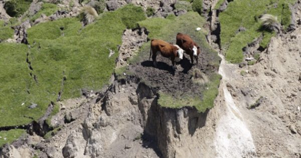 Σώθηκαν οι δύο αγελάδες και το μοσχαράκι που παγίδευσε ο Εγκέλαδος στη Νέα Ζηλανδία