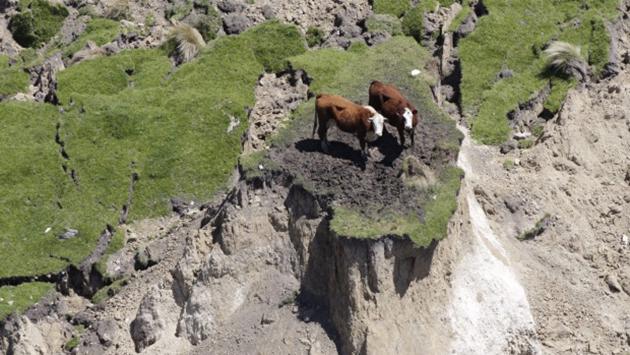 Νέα Ζηλανδία Εγκέλαδος αγελάδες