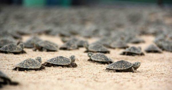 Το ταξίδι 17.000 μωρών χελωνών στο δρόμο προς την ελευθερία