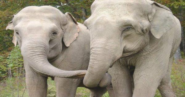 Δύο ελέφαντες συναντιούνται ξανά μετά από 22 χρόνια. Η Στιγμή της επανασύνδεσης; Θα σας κάνει να δακρύσετε!