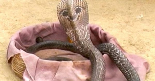 Το φίδι με το… πρόσωπο στην πλάτη έγινε ο σταρ ενός χωριού στην Ινδία