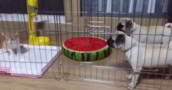 Έβαλαν σε ένα κλουβί δυο σκύλους και μια γάτα – Δεν φαντάζεστε τι έγινε! (video)