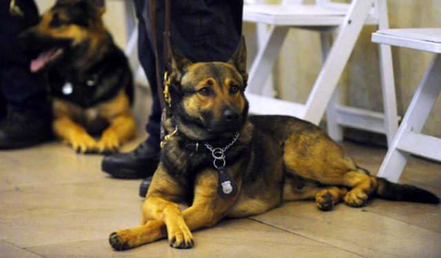 σκύλος ανιχνευτής ναρκωτικών Σκύλος Έλληνας