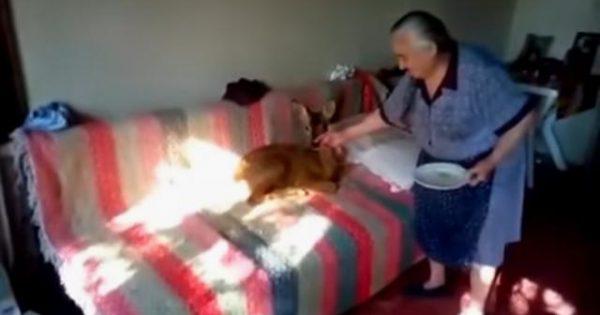 Αγρίνιο – Γιαγιά έχει για κατοικίδιο… ζαρκάδι -Το ταΐζει με μπιμπερό (βίντεο)