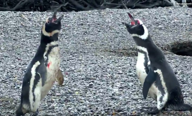 penguins-fight-mating-call