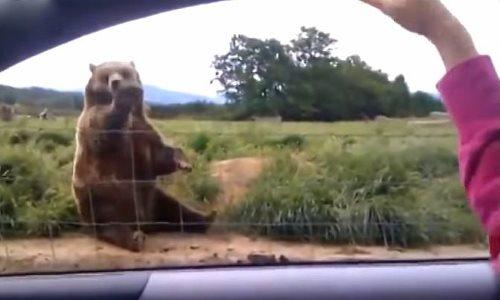 Γυναίκα χαιρετάει μια αρκούδα από το αυτοκίνητό της. Ποτέ όμως δεν περίμενε μια ΤΕΤΟΙΑ αντίδραση από την αρκούδα!