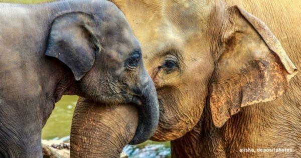 Τα περισσότερα ζώα δεν έχουν γιαγιά… εκτός από τους ελέφαντες!