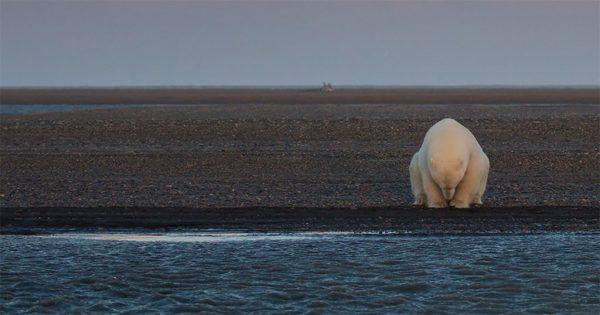 Ήθελε να φωτογραφίσει πολικές αρκούδες στα χιόνια αλλά το χιόνι δεν υπήρχε πουθενά