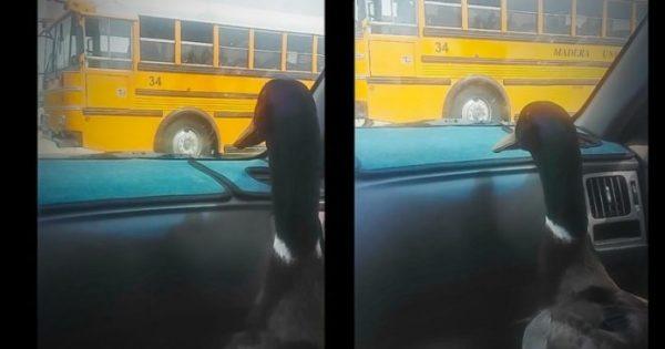Χαριτωμένη πάπια περιμένει τον καλύτερό της φίλο να κατέβει από το σχολικό. Η αντίδρασή της μόλις τον βλέπει; ΕΠΙΚΗ..!