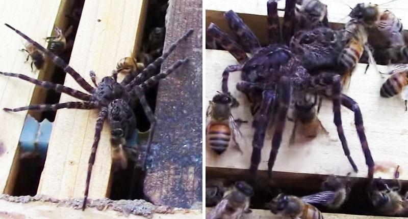 μέλισσες αράχνη