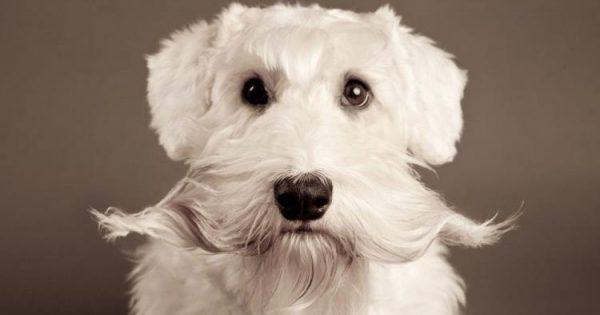 Γιατί δεν πρέπει να κόβουμε τα «μουστάκια» του σκύλου μας
