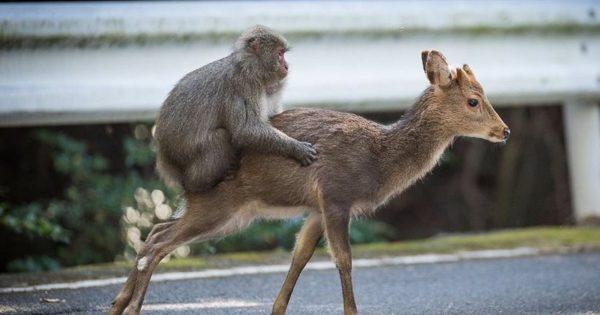 Το πιο αταίριαστο ζευγάρι: Έπιασαν στα πράσα «ξαναμμένη» μαϊμού να προσπαθεί να κάνει σ.. με ελάφια!
