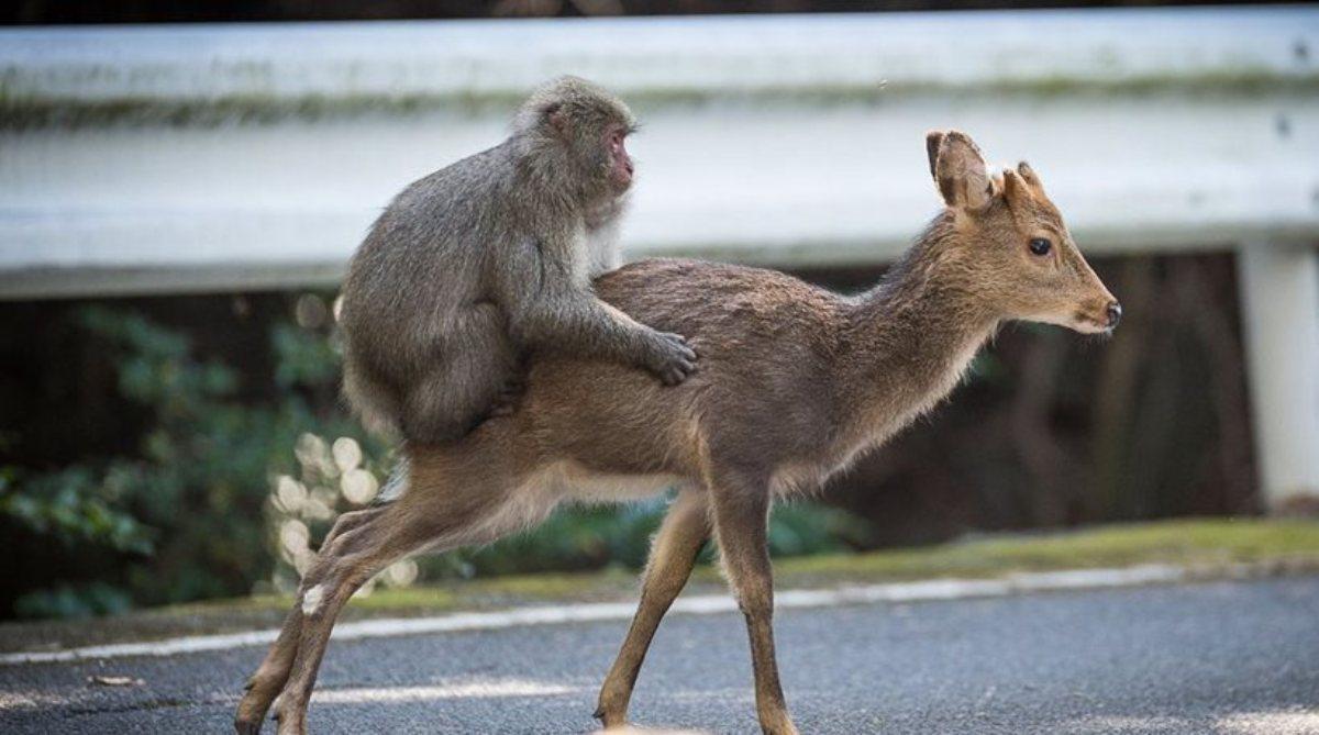 μαϊμού ελάφια