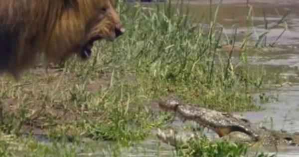Λιοντάρι: Είναι ο βασιλιάς των ζώων και το αποδεικνύει! Βίντεο