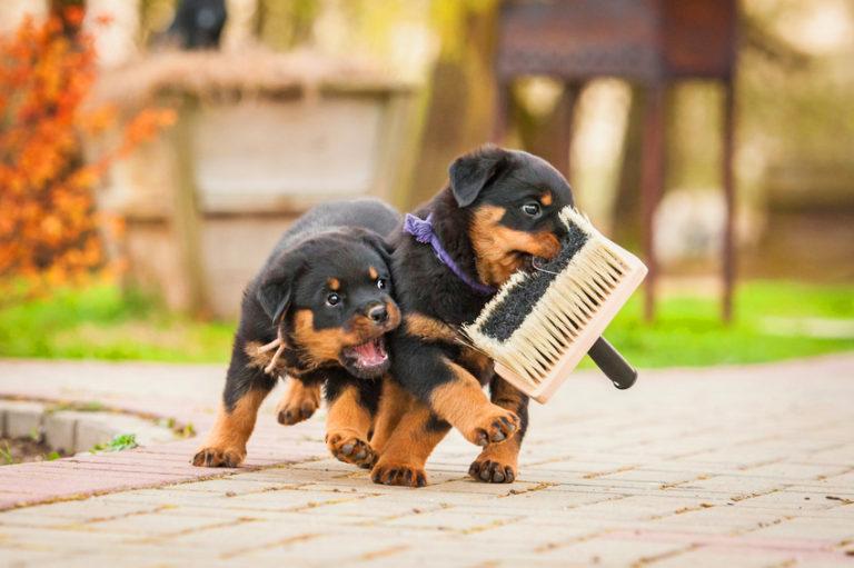 Σκύλος κουτάβι βούρτσισμα